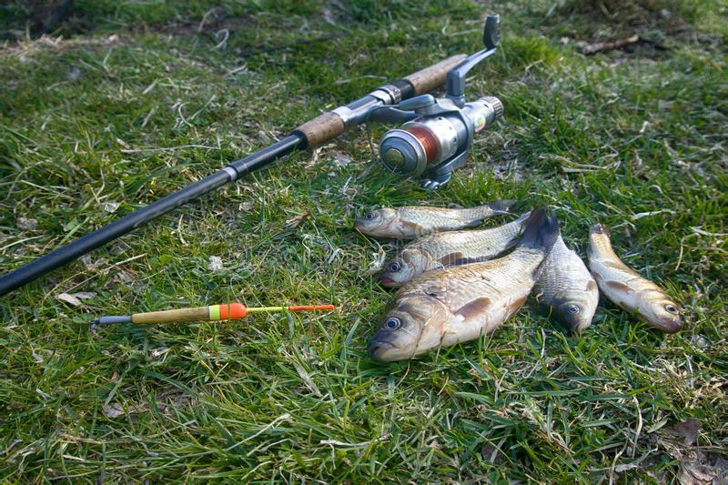 Crucian carp in north ponds. Fishing for white carp, Prussian carp, crucian carp in north ponds. Fish medium and small, coarse fish; nuisance animals royalty free stock image