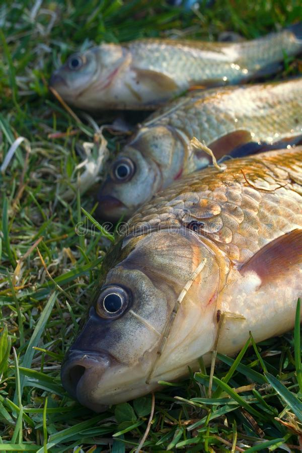 Crucian carp in north ponds. Fishing for white carp, Prussian carp, crucian carp in north ponds. Fish medium and small, coarse fish; nuisance animals stock image