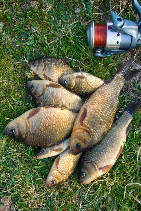Crucian carp in north ponds. Fishing for white carp, Prussian carp, crucian carp in north ponds. Fish medium and small, coarse fish; nuisance animals stock photos