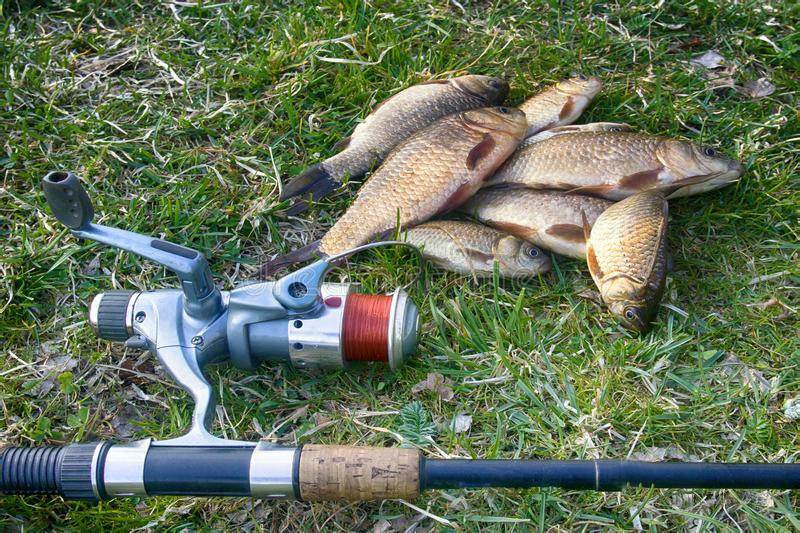Crucian carp in north ponds. Fishing for white carp, Prussian carp, crucian carp in north ponds. Fish medium and small, coarse fish; nuisance animals royalty free stock photos