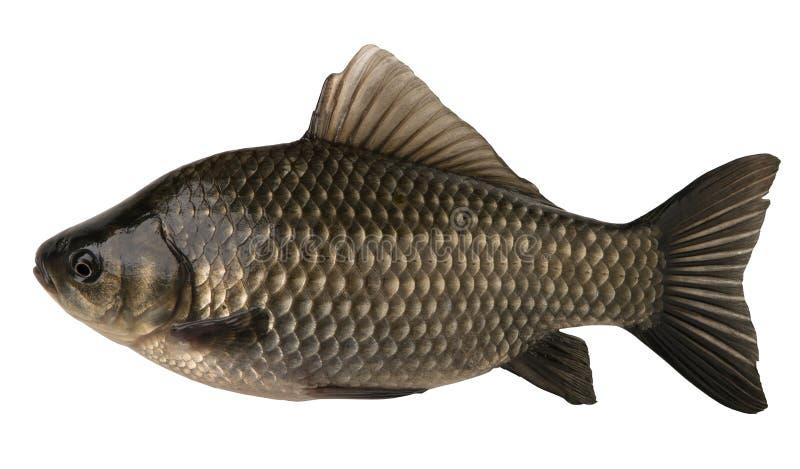 Crucian dei pesci grezzi isolato sui precedenti bianchi immagine stock