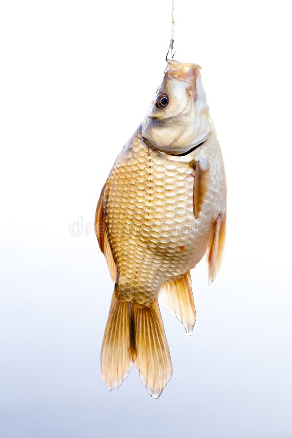 Crucian golden carp on a fishing line tackle, fisherman catch concept. Beautiful decorative golden Carassius against royalty free stock photos
