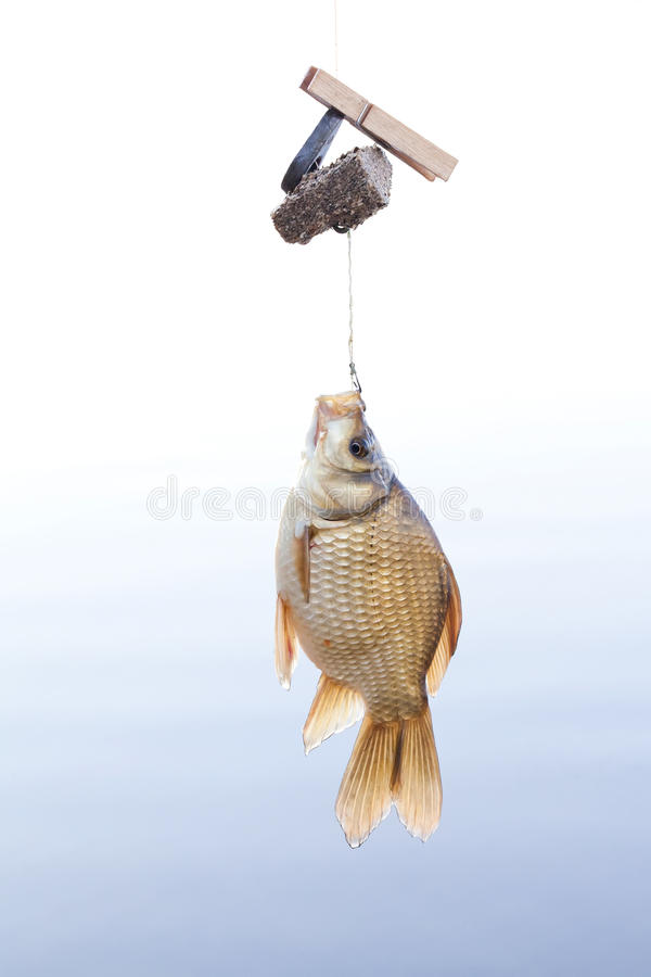 Crucian golden carp on a fishing line tackle, fisherman catch concept. Beautiful decorative golden Carassius against royalty free stock photo