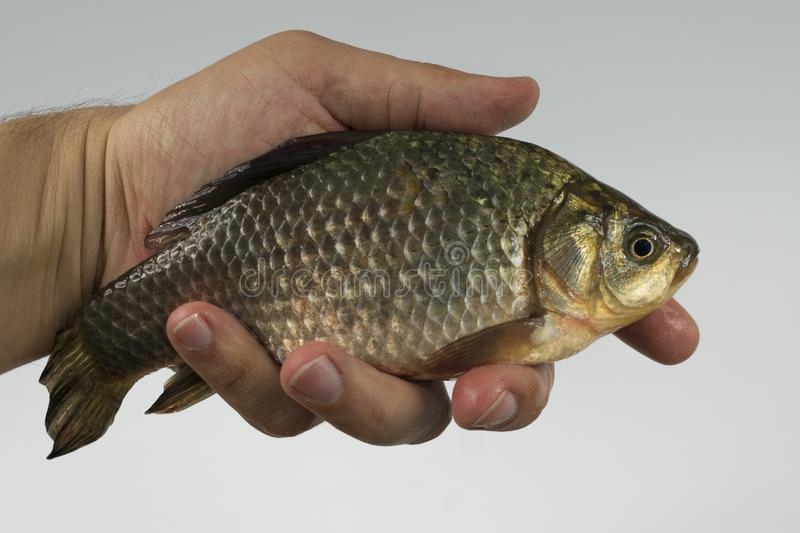 Crucian in hand royalty free stock images
