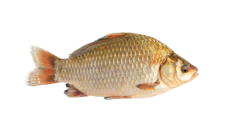 Crucian isolated over white. Background stock photography