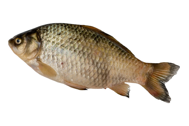 crucian ryb obrazy stock