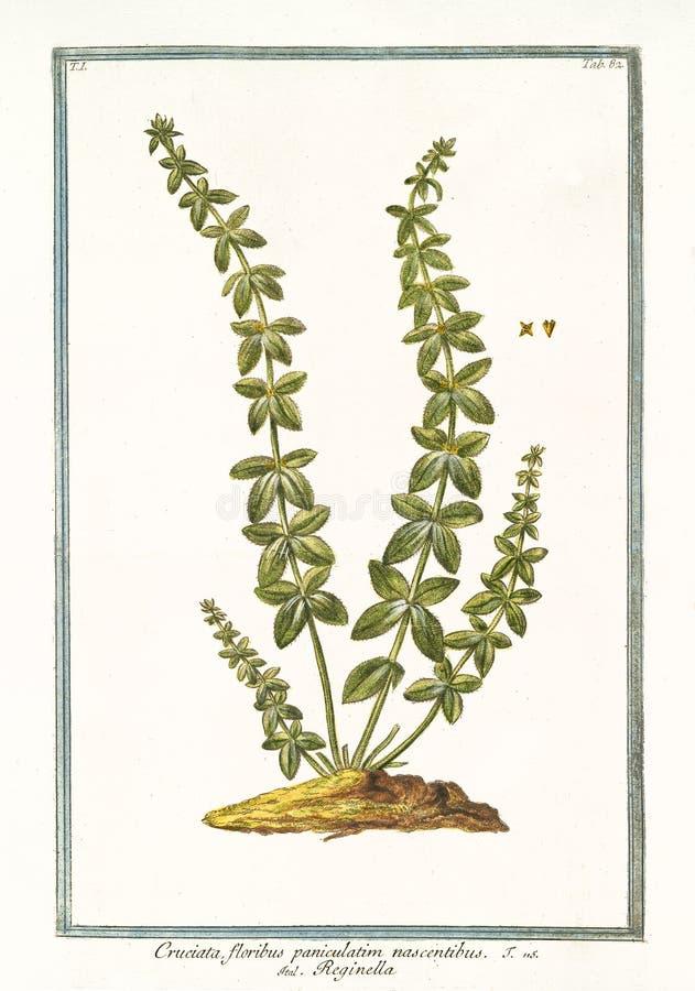 Cruciata floribus paniculatim Cruciata glabra 图库摄影