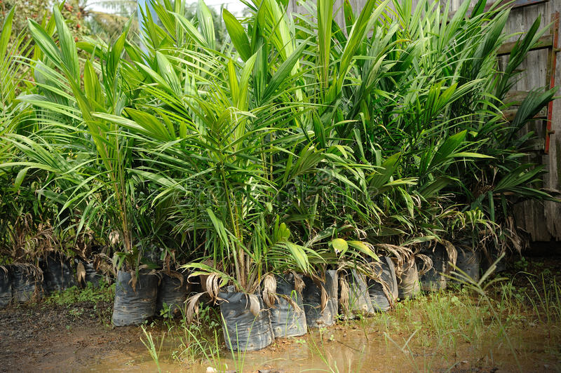 Crude Palm Oil Plant Royalty Free Stock Photo
