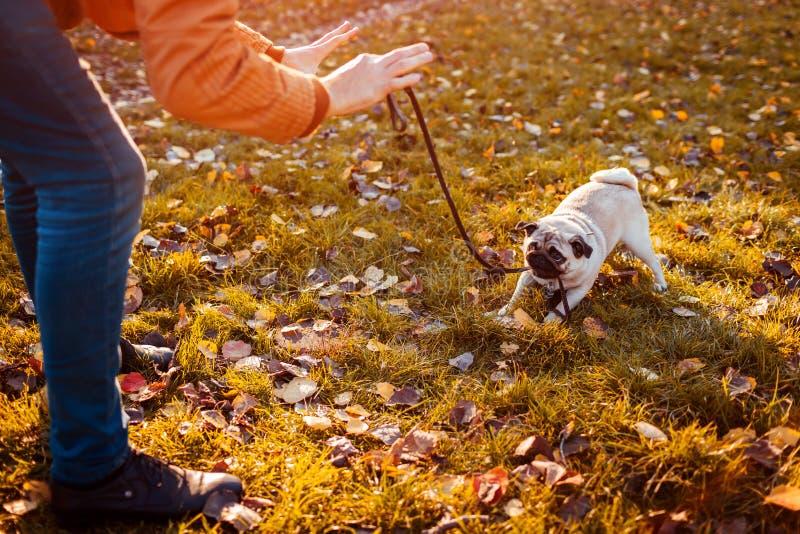 Cruel behavior with animals. Master walking pug dog in autumn park. Puppy biting leash refusing to go. Master walking pug dog in autumn park. Puppy biting leash stock photo