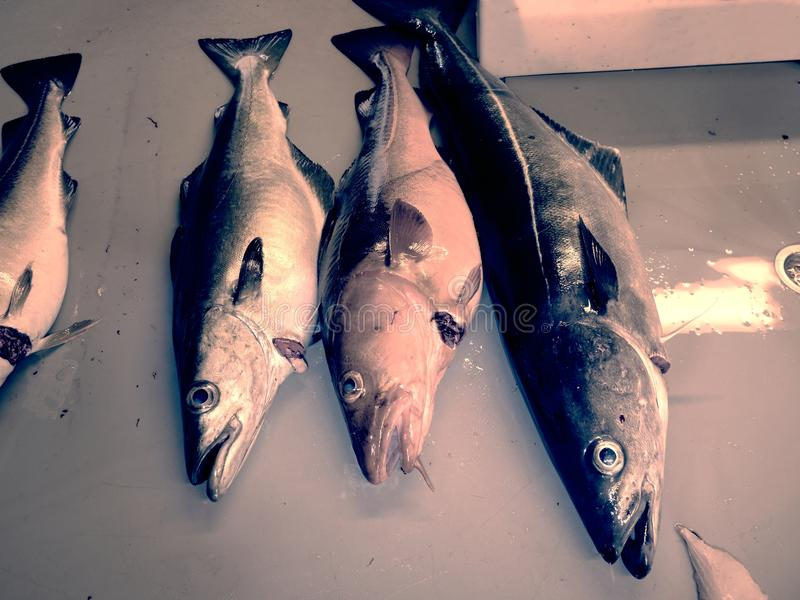 The cruel fate of nordic fishes. Freshly caught Coalfish on plastic slaughterer board. With other catches stock image