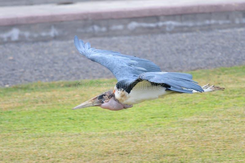 Crumenifer de Leptoptilos de cigogne de marabout photos libres de droits
