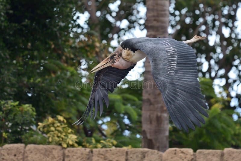 Crumenifer de Leptoptilos de cigogne de marabout photographie stock libre de droits