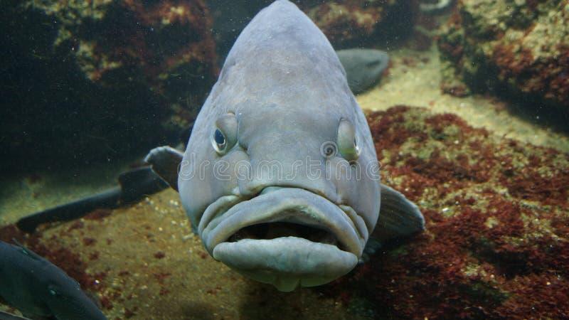 Crumpy semblant de grands poissons gris photographie stock libre de droits