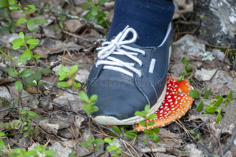 Do not destroy the red fly agarics. Crush the red fly agaric, close-up. Amanita muscaria. Do not destroy the red fly agarics stock images