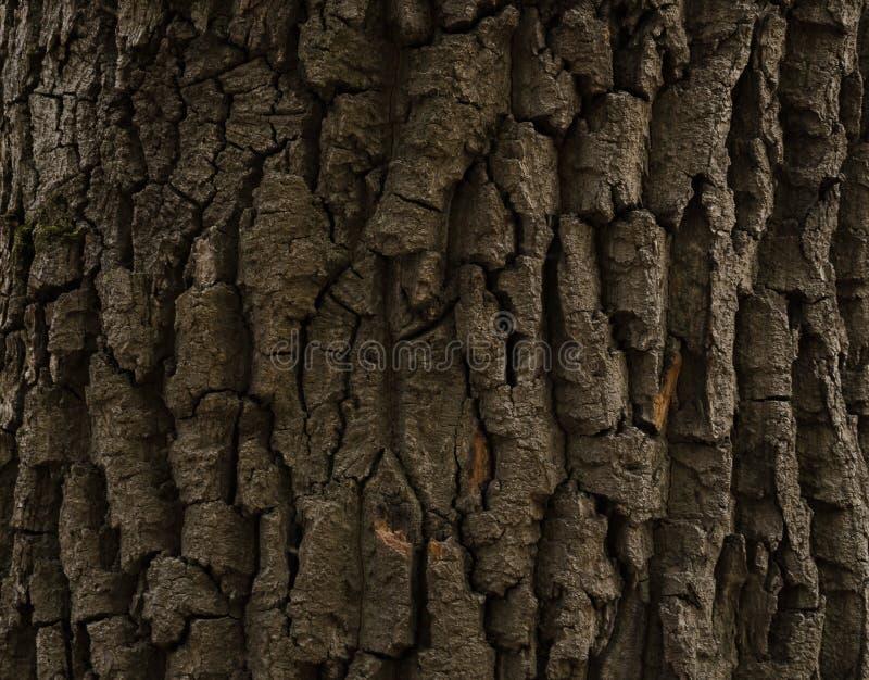 Crust 300-year-old oak royalty free stock photo