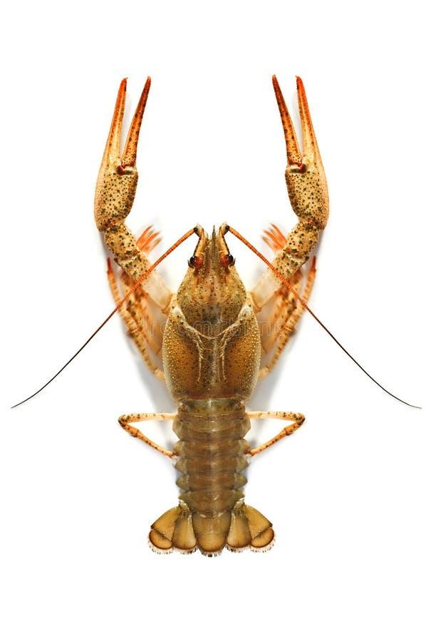 crustacean стоковая фотография rf