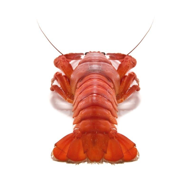 crustacean стоковое изображение rf