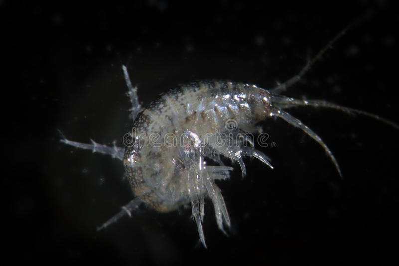 Crustacean Amphipoda by microscope. Arthropoda Gammarus pulex. Aquarium feeds suitable for fish, reptiles, birds. Picture taken on a dark background with top stock image
