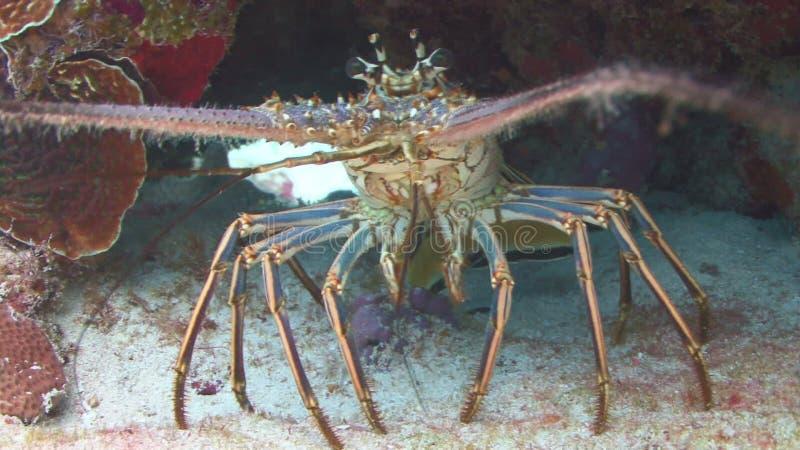 Crustaceans при длинные ноги окруженные рыбами видеоматериал