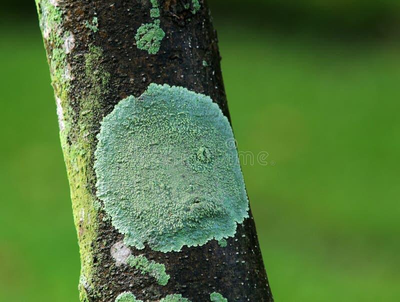 Crustose лишайник на дереве стоковое изображение