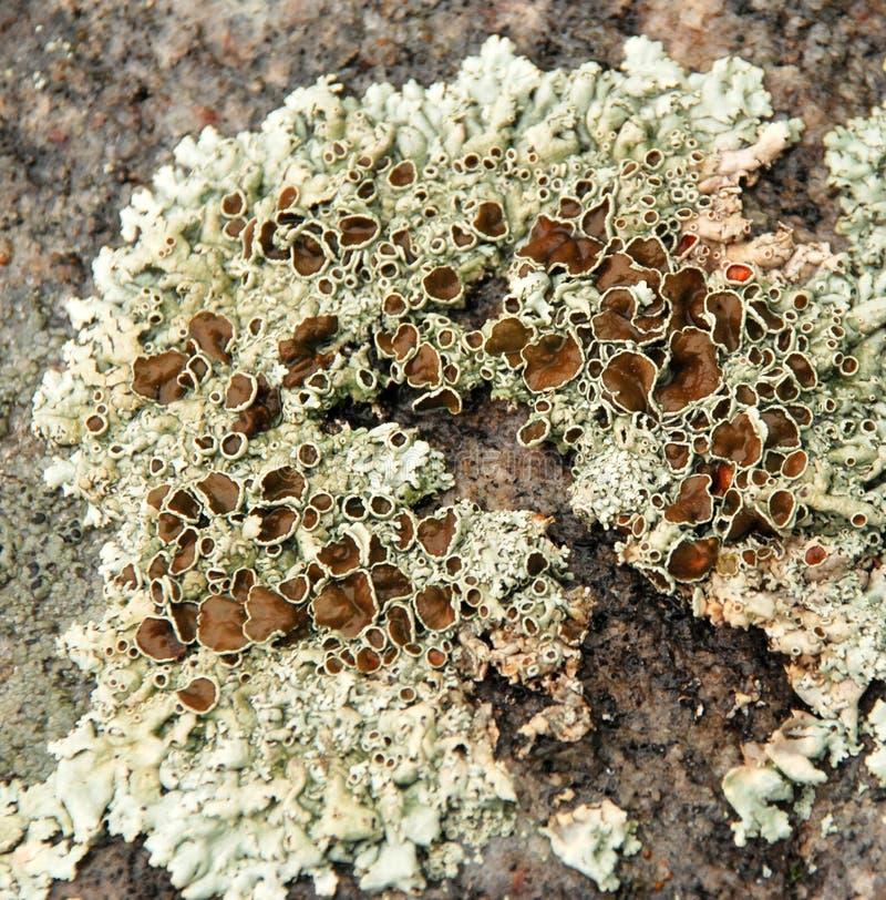 Crusty Lichen algae texture. Crusty Lichen Algae growing on a rock stock images