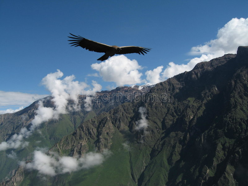 Cruz del Condor. Condor in Colca Canyon Peru stock image