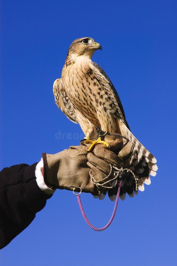 Cruz del halcón de Pregrine en la mano con guantes imágenes de archivo libres de regalías