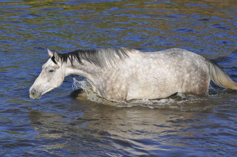 Cruz do cavalo branco o rio, água, nadada imagens de stock