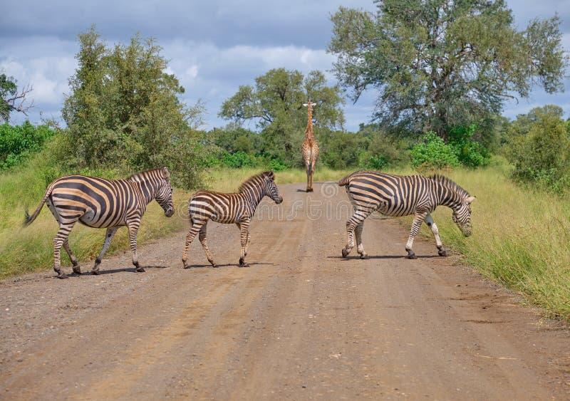 Cruzamento de zebra foto de stock