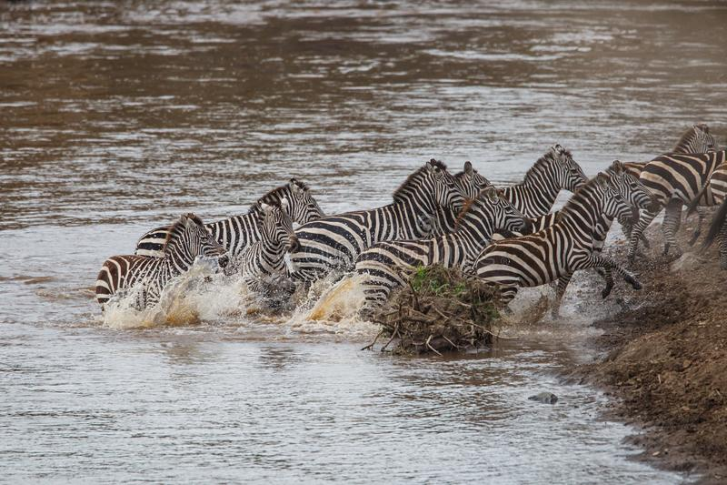Cruzamento de zebra Mara River em Kenya fotografia de stock