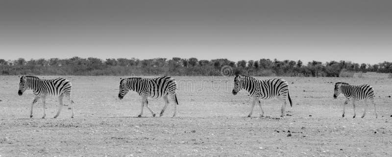 Cruzamento de zebra, parque nacional de Etosha, Namíbia imagem de stock