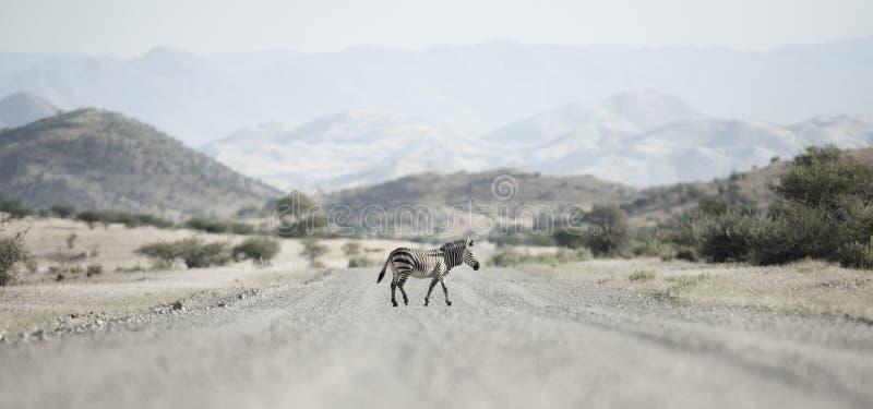 Cruzamento de zebra uma estrada, Kaokoland Regi?o de Kunene nafta imagens de stock royalty free