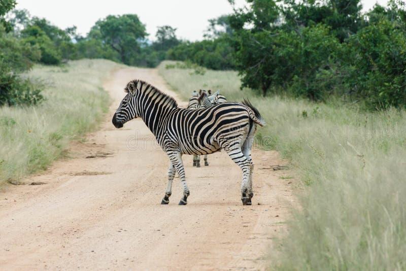 Cruzamento de zebra uma estrada de terra fotografia de stock