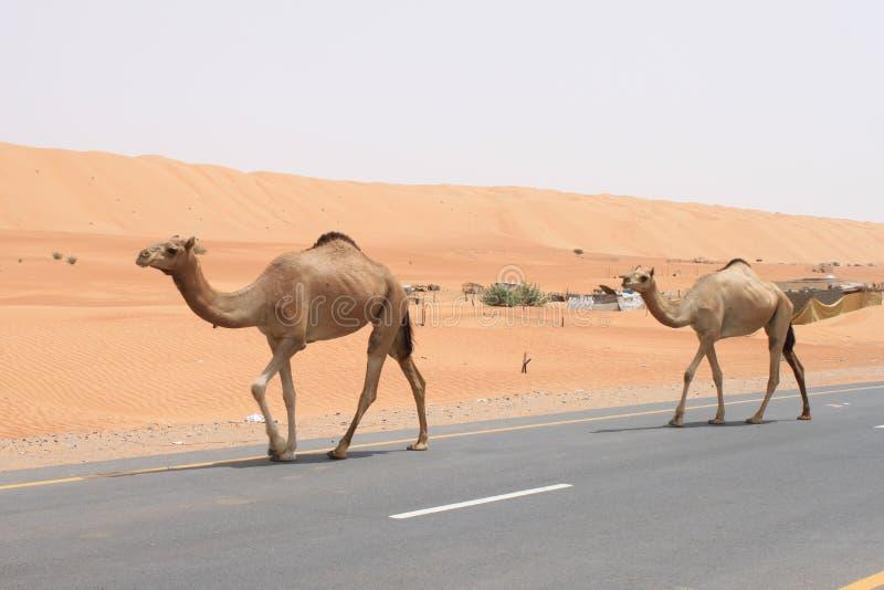 Cruzamento do camelo imagem de stock