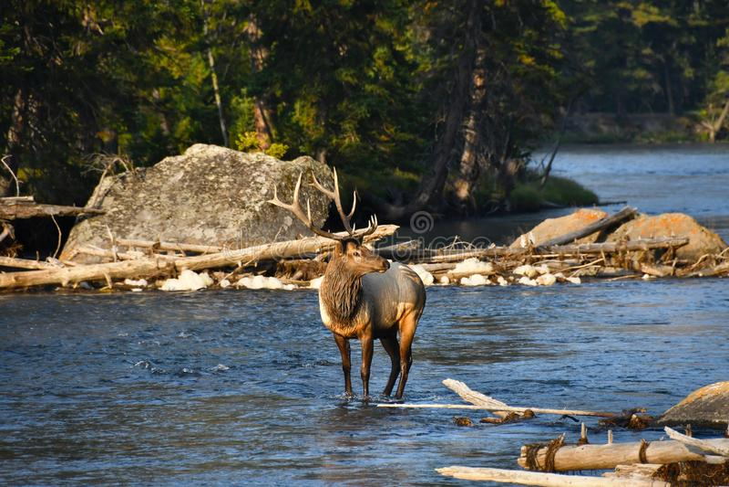 Cruzamento dos alces de Bull Madison River imagem de stock royalty free