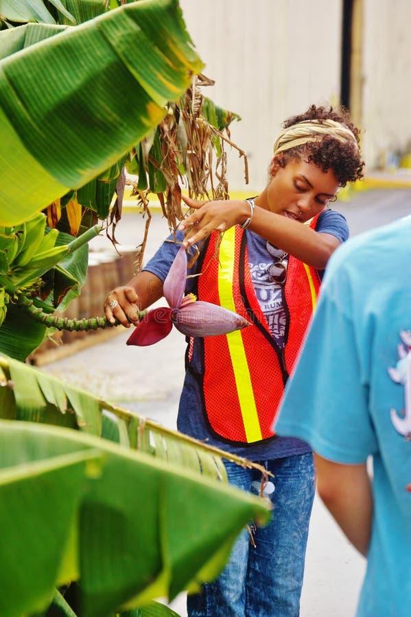 Cruzan οδηγός ρουμιού usvi του ST croix με το λουλούδι μπανανών στοκ φωτογραφία