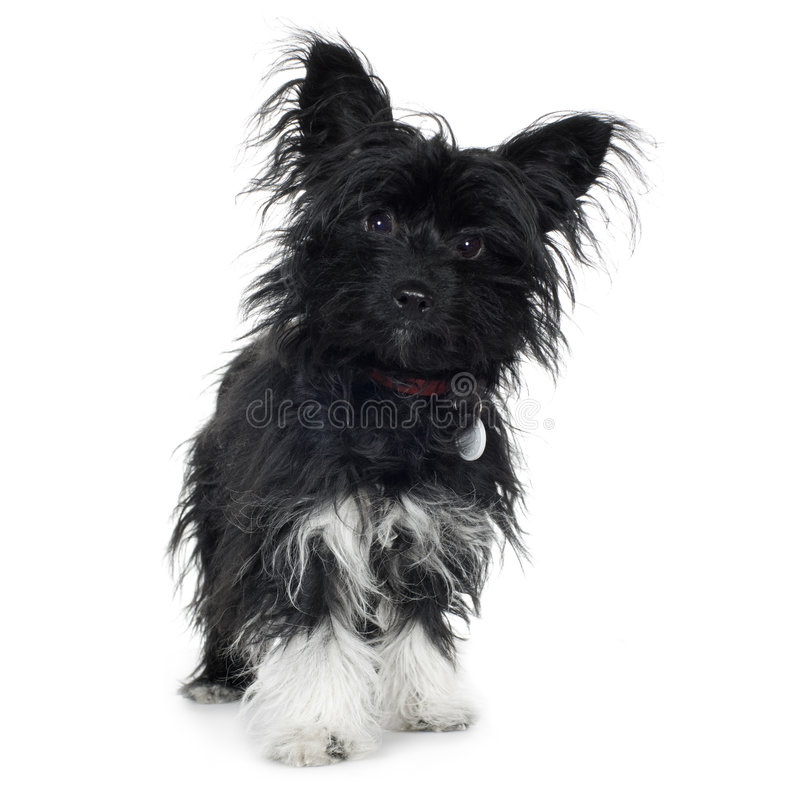 Cruze (7 meses) o terrier de Yorkshire e o papill fotos de stock