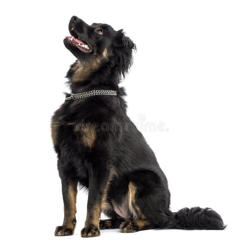 Cruze o assento do cão, ânsia, olhando acima, isolado fotografia de stock royalty free