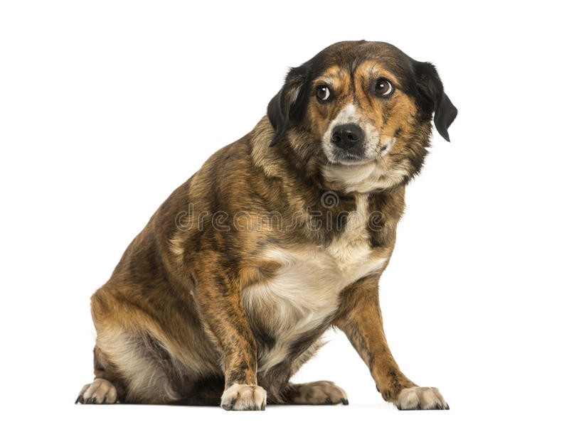 Cruze o assento do cão, olhando intimidado, isolado imagens de stock