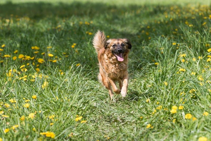 Cruze o cão marrom que corre no prado do dente-de-leão imagens de stock