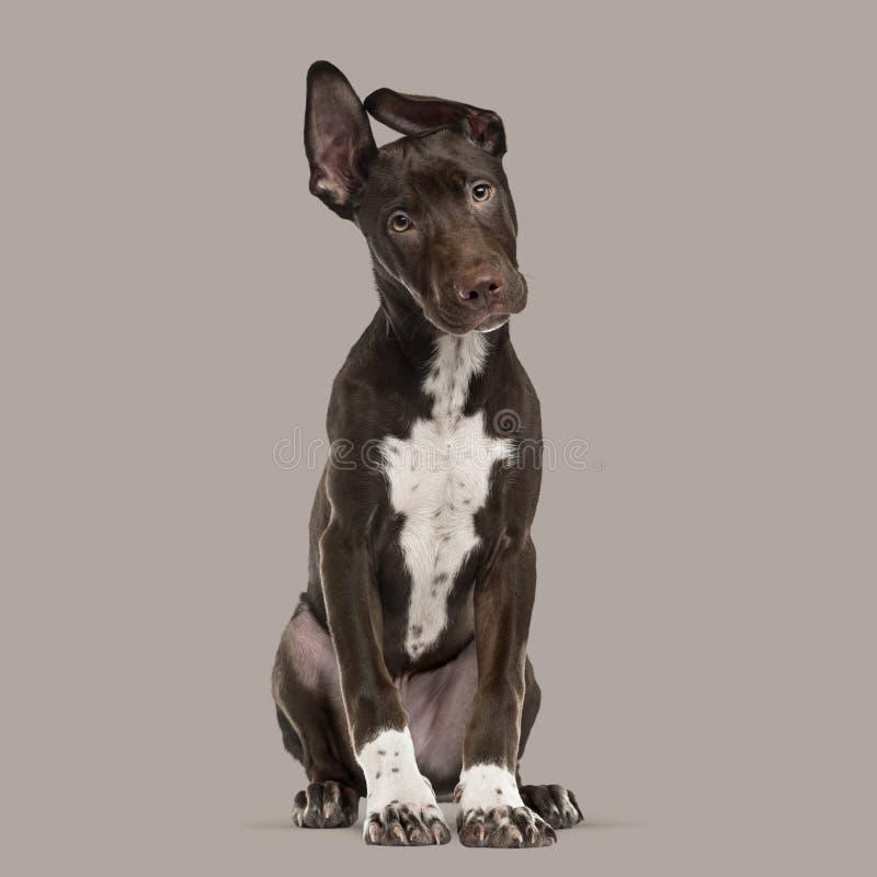 Cruze o cachorrinho do cão que senta-se em um fundo marrom fotografia de stock