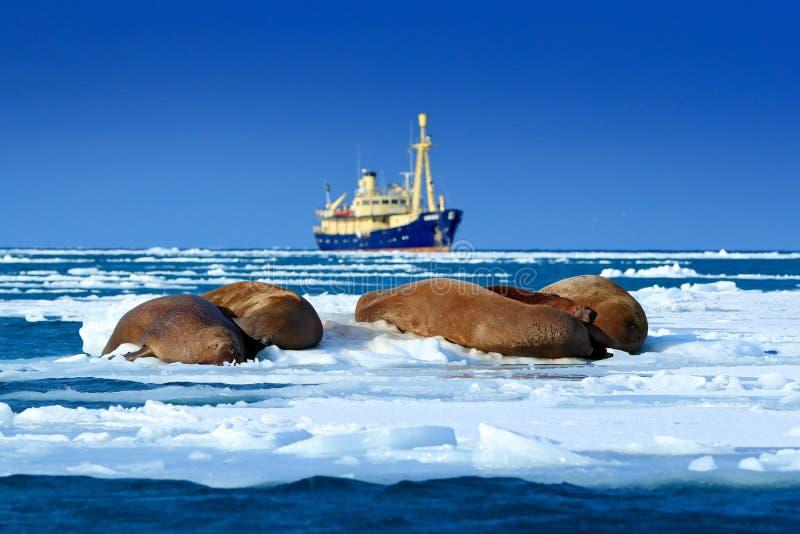 Cruzeiro ártico no gelo A morsa, rosmarus do Odobenus, cola para fora da água azul em Pebble Beach, barco borrado no fundo, Svalb fotografia de stock royalty free