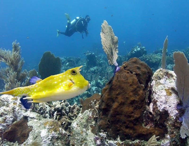 Cruzeiros de um Cowfish de Longhorn o recife em Papuásia-Nova Guiné imagens de stock royalty free