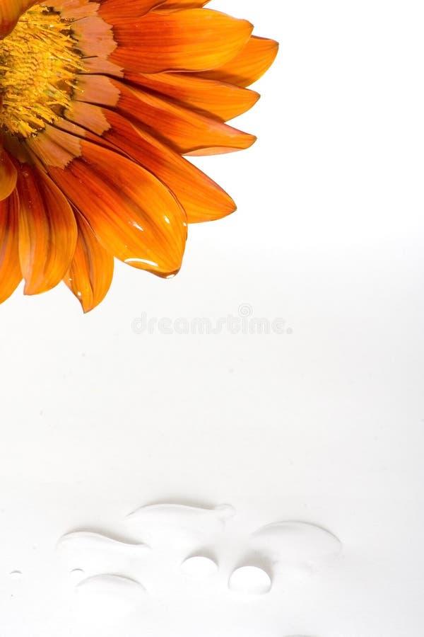 Free Crying Daisy Royalty Free Stock Photos - 772718