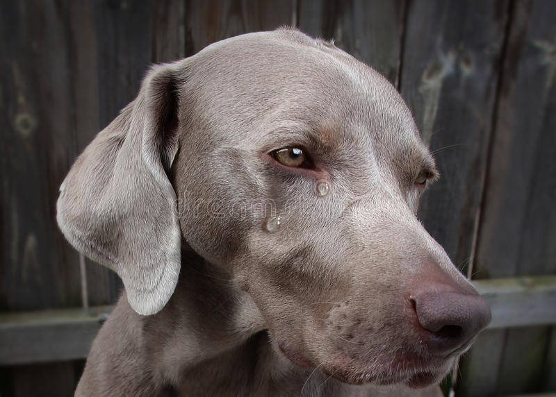 Crying dog. Dog with tears in his eyes royalty free stock images