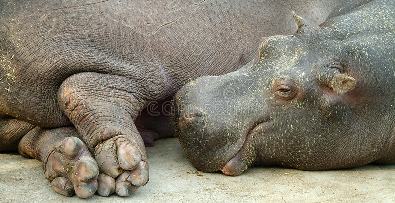crying hippo στοκ εικόνες