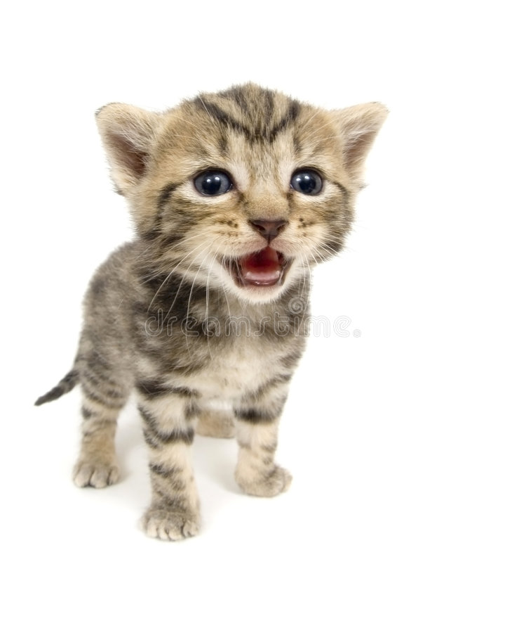 Crying kitten on white background stock image