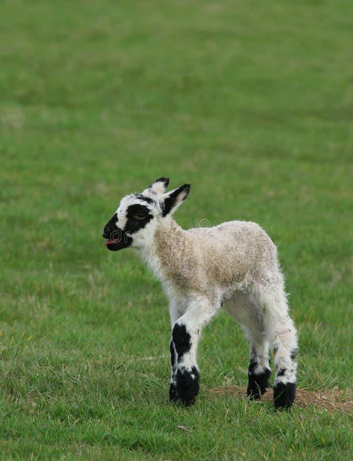 Free Crying Lamb Stock Photo - 684100