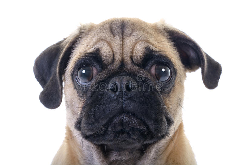 Crying Pug Dog. Closeup Face Headshot of Pug Dog Crying with Tear in Right Eye, studio shot over white background royalty free stock images