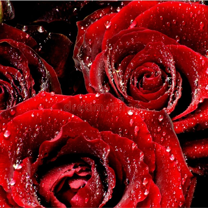 Crying Roses royalty free stock images
